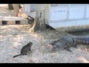 Cat vs Gator - Pet Cat Saves Boy from Two Vicious GATORS- original