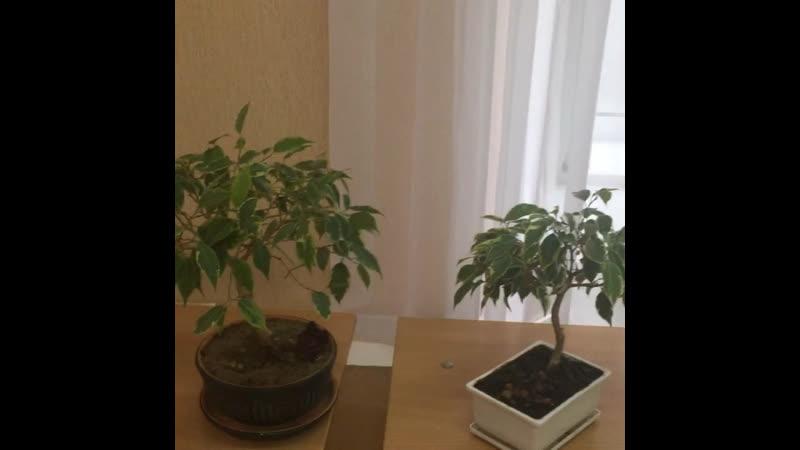 Мини выставка мини деревьев Бонсай