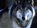 Волчья преданность Стихотворение