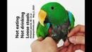 15 летний попугай амазон не ест и не пьёт имеет мягкий стул The 15 year old Amazon parrot is not eating and drinking passes soft stools