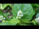 Bài Thuốc Nam chữa Tiểu Buốt Tiểu Dắt với rau Mồng Tơi