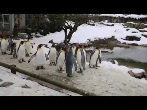 Penguin Parade at the Zürich Zoo, Feb.15, 2015