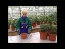 Выращивание граната в теплице