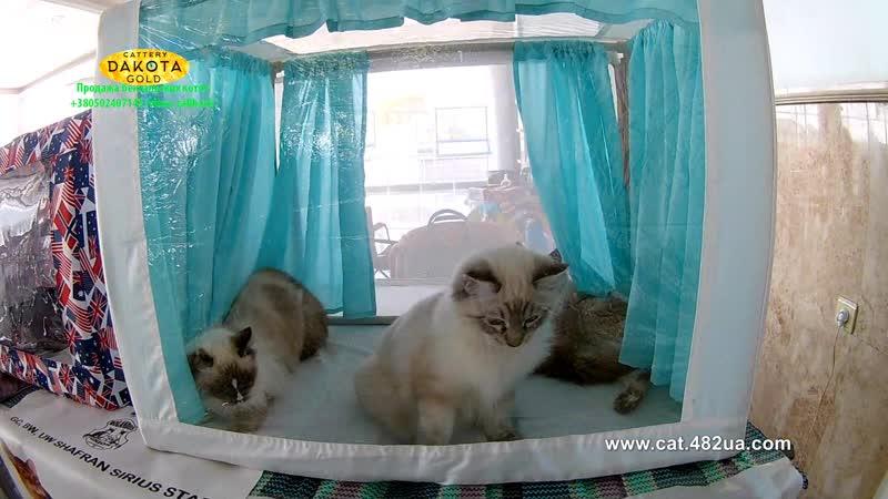 20102018, Харьков, Выставка кошек, RUI, Локомотив, часть 8, регдолл