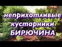 Неприхотливые кустарники Бирючина