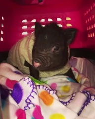 """Micro Mini Pig Breeder on Instagram: """"Pig safe shipping world wide 🥰🎄✈️⛄️💖"""""""