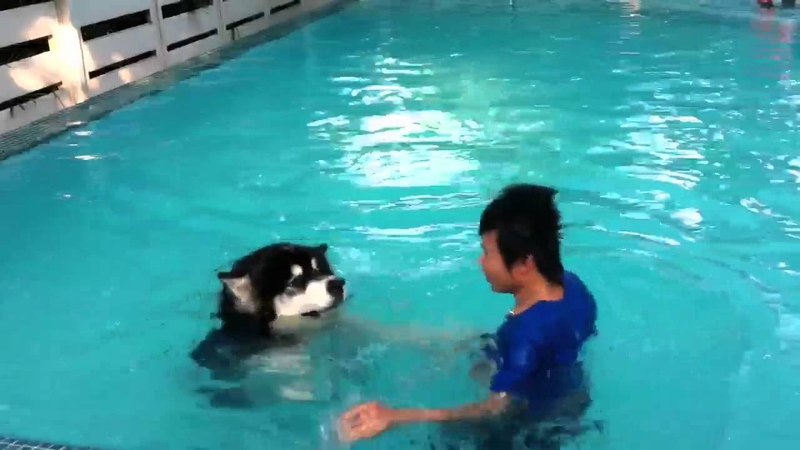 Alaskan malamute swimming