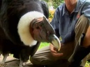 Revisit the worlds biggest flying bird, the Andean Condor