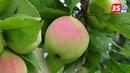 ОПЫЛЕНИЕ плодовых деревьев и ПРИВИВКА: что это?