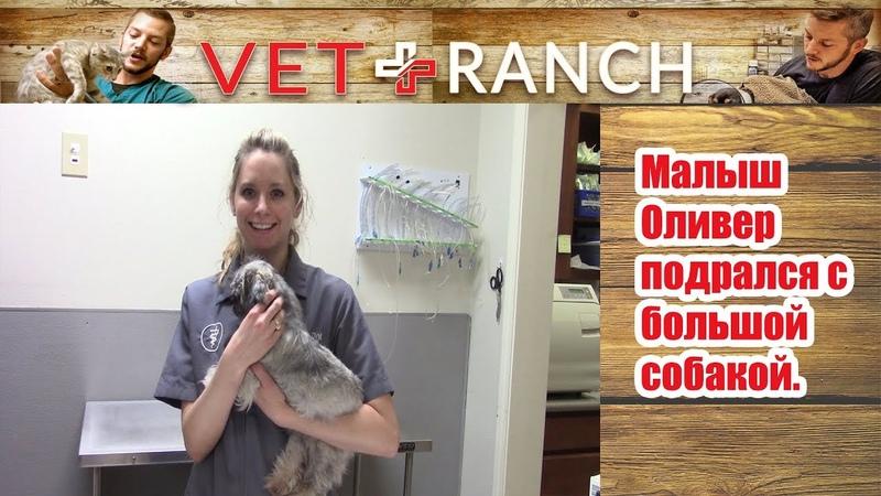 Vet Ranch на русском - Малыш Оливер подрался с большой собакой / This Pup Broke His Jaw