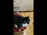 Василиса и Мусяня (Читинские кошки ждут возвращения домой)