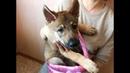 Чудный волчак (Чехословацкая волчья собака) Wonderful Walczak (the Czechoslovakian Wolfdog)
