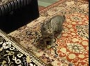 верный кот ТИХОН