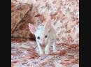 Корниш рекс - мальчик белый с голубыми глазами.