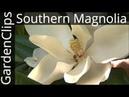 Evergreen Southern Magnolia Magnolia Grandiflora How to grow Bull Bay Magnolia