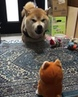 Shiba Inu and voice toy