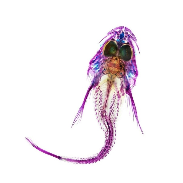 Окрашенный рентгеновский снимок рыбки-бычка