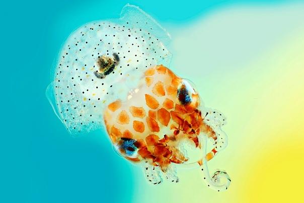Гавайский кальмар бобтейл размером всего 1,5 см. Фото Mar R. Smith
