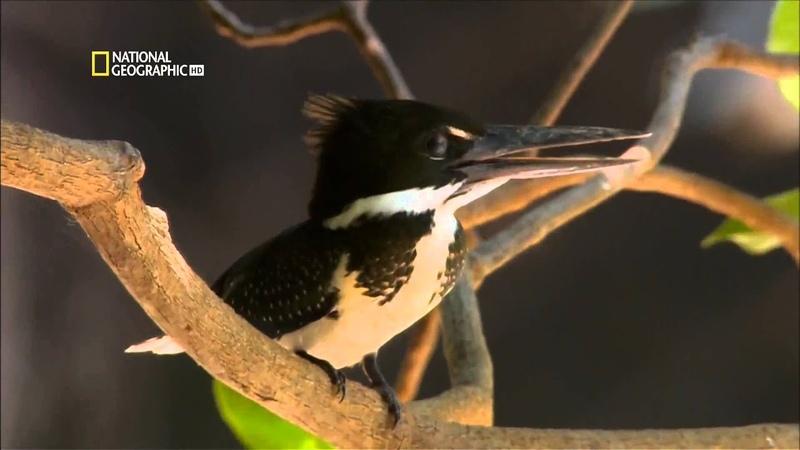 National Geographic Самые опасные животные мира Амазония