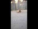 Пес отбивается от назойливых мух пытаясь спокойно полежать