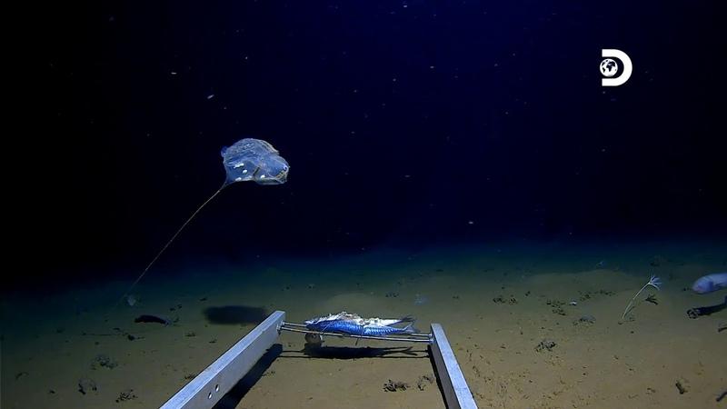 На дне Индийского океана обнаружено неизвестное существо
