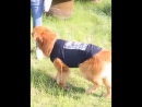 Large dog vest summer t shirt