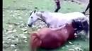 Драка лошадей токого вы еще не видели