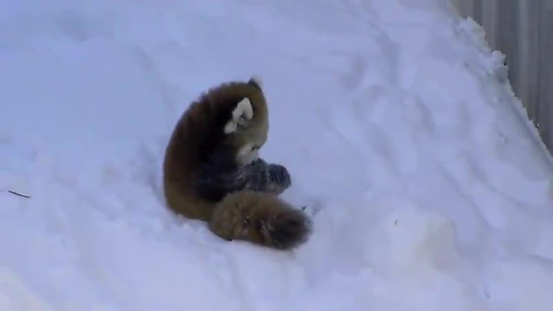 Няшные рыжие панды играют в снегу (хорошее настроение Приколы Животные панда, снег, зима, игры, зимние забавы, детеныши).