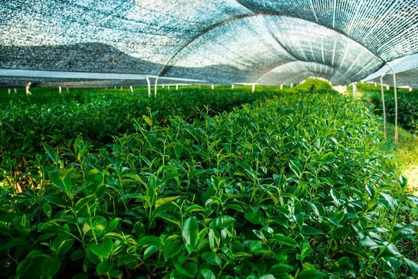 Необычный химический состав и сладкий вкус: как японцы выращивают чай матча