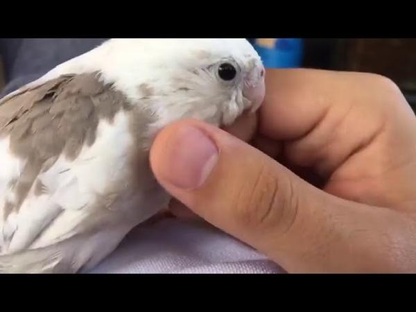 Usta biraz Kafamı kaşırmısın ) Sultan papağanı