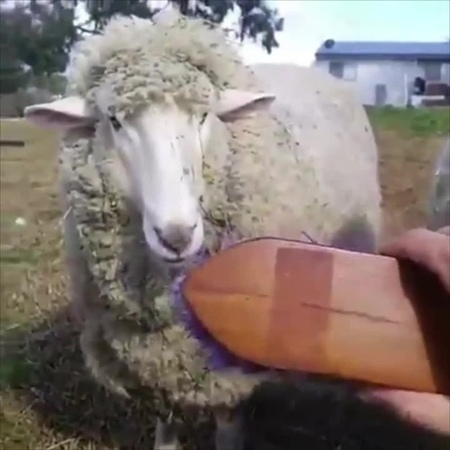 Combing sheeps' hair.Try and make Coub!