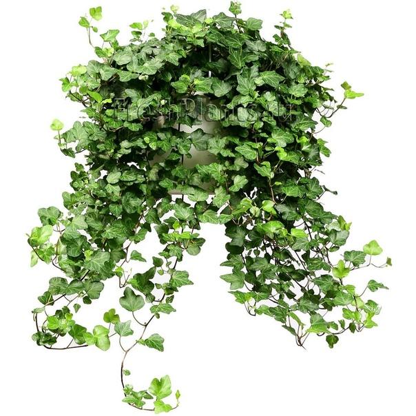 ХЕДЕРА (ПЛЮЩ) Плющ или хедера (Hedera) вечнозеленая лиана из семейства аралиевых. Известно около 15 видов плющей, распространенных в субтропиках Европы, Америки, Северной Африки и Азии. Плющ