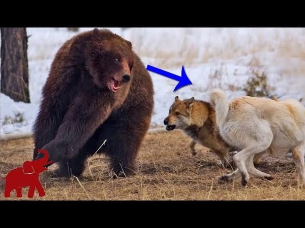 Drei Wölfe gegen vier Grizzlybären, Bären sind zu grausam || Kämpfe von Tieren