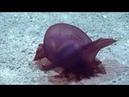 Морской огурец в водах Южного океана