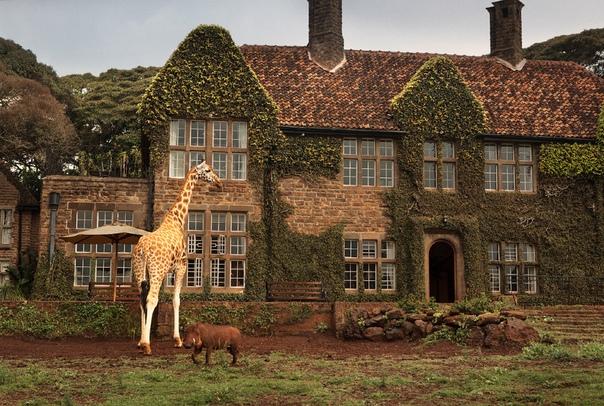Завтрак с жирафом В 10 км от города Найроби в Кении находится особняк в колониальном стиле, вокруг которого раскинулся частный заповедник редких жирафов Ротшильда, занесенных в Международную