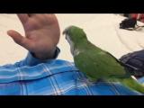 Попугай Монах, пуговица и мой палец😁