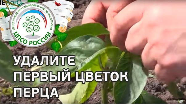 Смотрите практический видео-совет специалиста-агронома о том, как правильно формировать растения перца в теплице