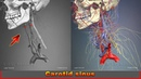 Carotid sinus Arteries of head and neck 3D Human Anatomy Organs