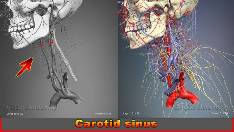 Carotid sinus | Arteries of head and neck | 3D Human Anatomy | Organs