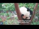 Сычуаньские панды не сдаются