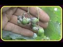 Виноград Болезни осенью Оидиум на ягодах