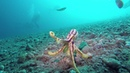 Mototi Octopus Trying to Fight (Rare and Venomous)