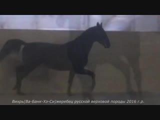 Вихрь(Ва-Банк-Хэ-Си)жеребец русской верховой породы 2016 г.р.