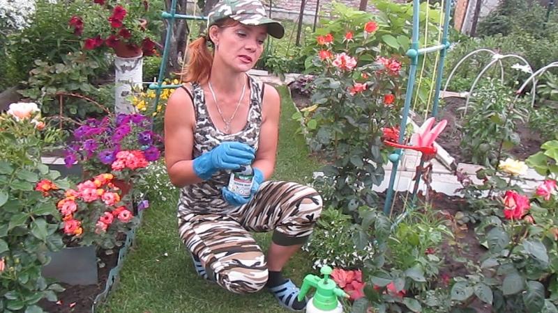 Обработка роз от тли паутинного клеща и других вредителей .