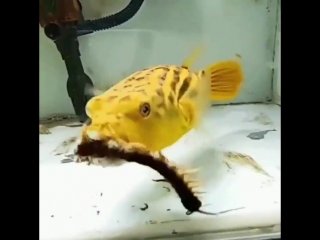A puffer fish will eat all your nightmares