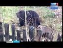 Медведи стали чаще досаждать местным жителям в посёлке Невон Усть Илимского района