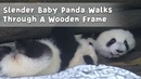 Slender Baby Panda Walks Through A Wooden Frame iPanda