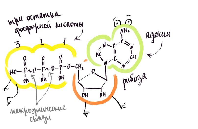 Строение молекулы АТФ (аденозинтрифосфата)