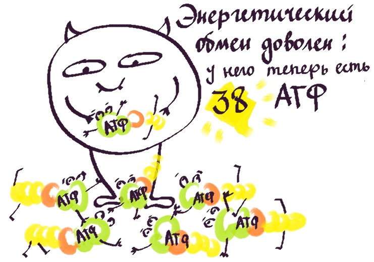 38 молекул АТФ