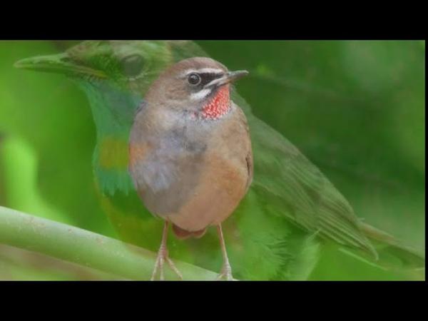 Звуки вселенной Пение соловья Sounds of the universe Drinking nightingale